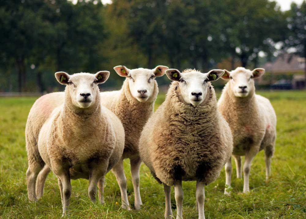 Монголия и Казахстан заинтересованы в создании овцеводческих кластеров
