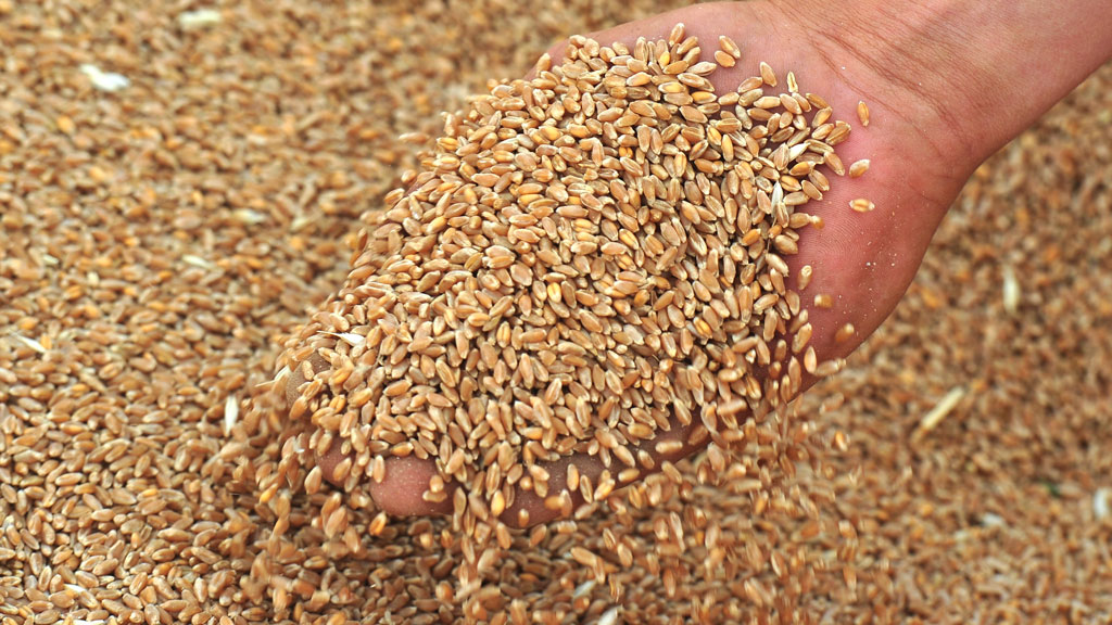 В Павлодарской области завершена уборка зерновых культур и картофеля