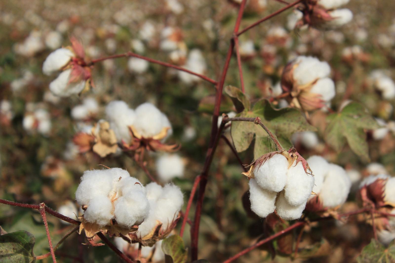 Казахстанско-китайское производство хлопка стоимостью 5 млрд тенге планируют наладить в Туркестанской области