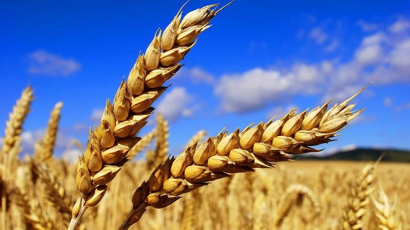 Торговая война США и Китая мало затронет казахстанский рынок пшеницы и сои – эксперты