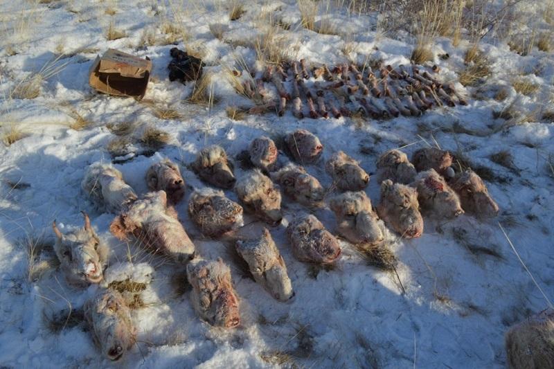 Капитан РОВД задержан за незаконную охоту на сайгаков в Карагандинской области