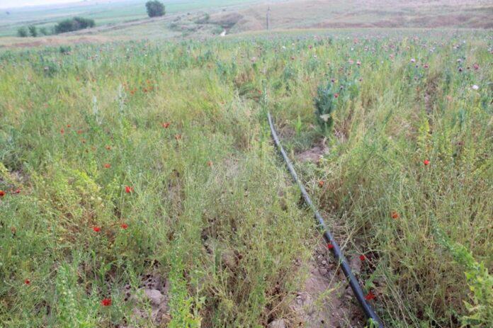 Түркістан облысында 1 гектар жерге көкнәр еккендер ұсталды