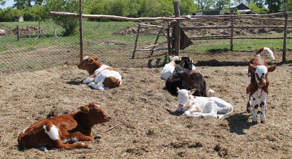 Начинающих животноводов обделили субсидиями
