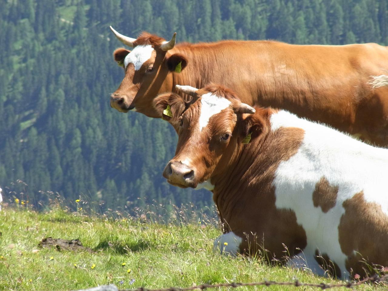 Поголовье крупного рогатого скота увеличилось на 5% с начала года в Казахстане