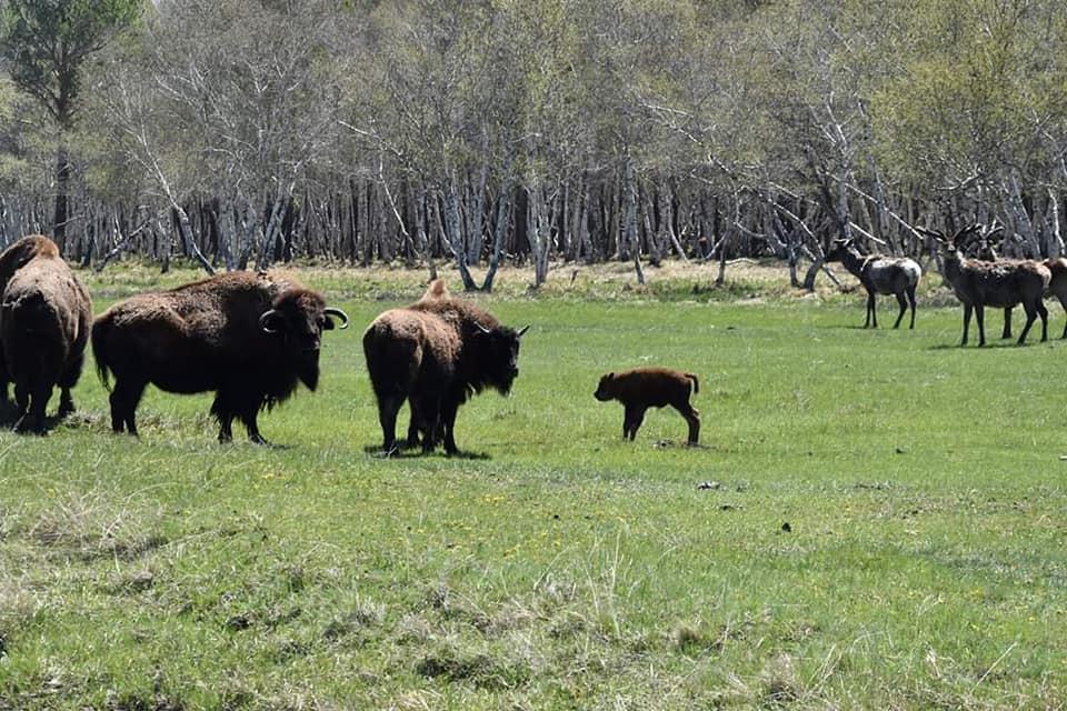Қарқаралы мемлекеттік табиғи паркінде бизон төлдеді
