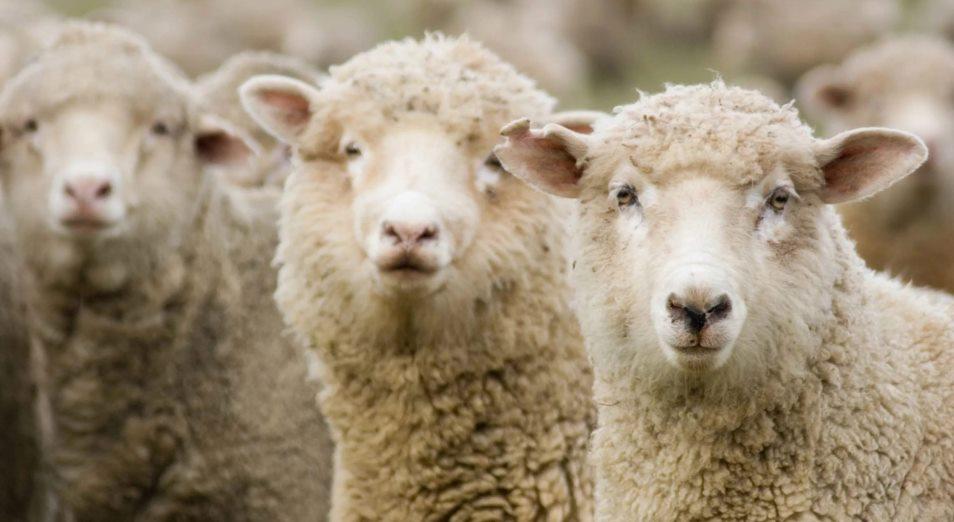 Почему в Баянаульском районе не развивается овцеводство?