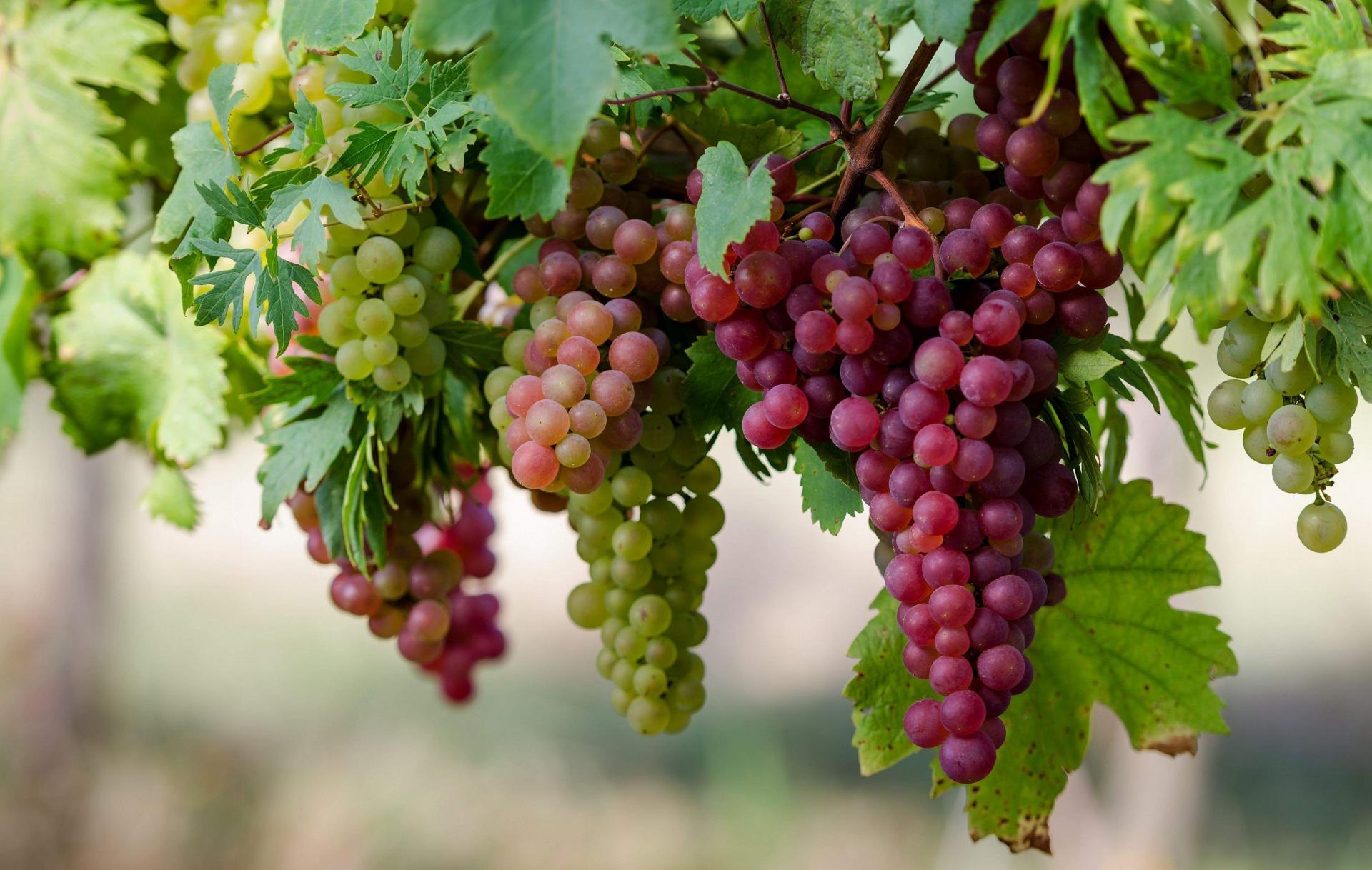 Уборка винограда продолжается в Туркестанской области