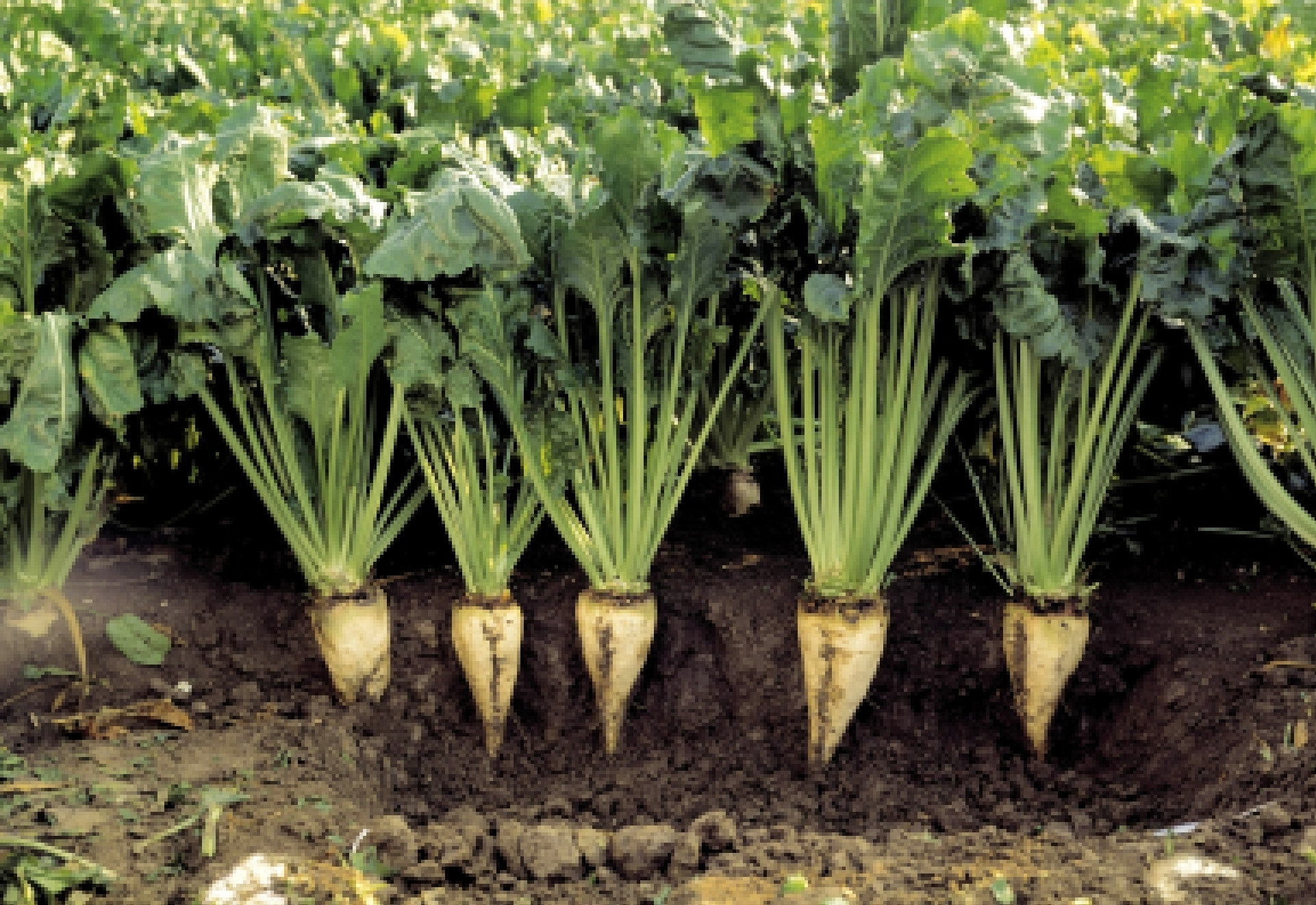 В Алматинской области планируют увеличить посевы сахарной свеклы