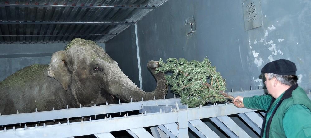 Не выкидывать ёлки, а сдавать их в зоопарк предлагают в Алматы