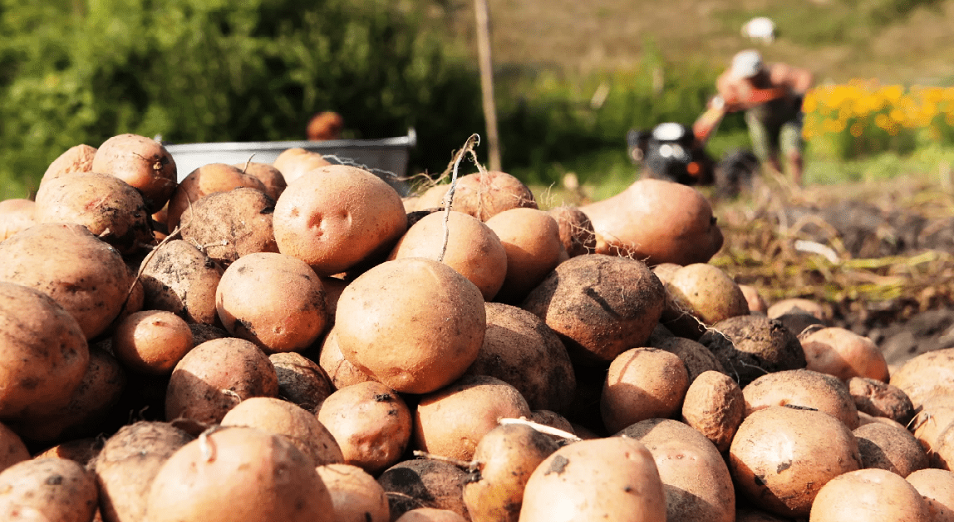 Жетісуда Голландияның картобы өседі