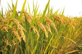Посевы риса в Кызылординской области увеличатся на 0,2%