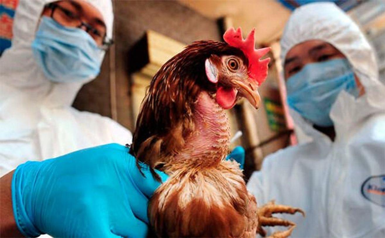 Аркалыкская птицефабрика полностью лишится поголовья из-за птичьего гриппа