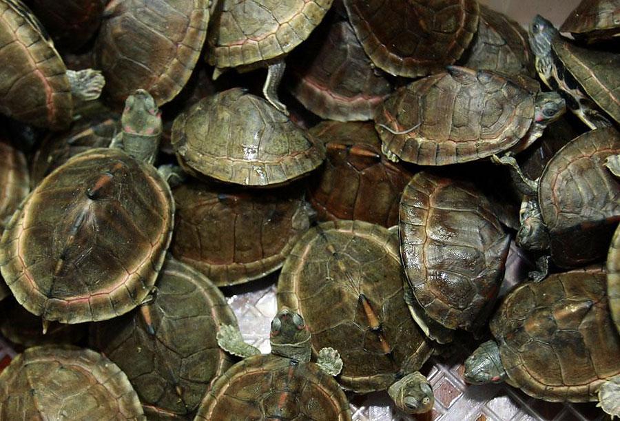 Казахстанец пытался провезти в Россию живых черепах