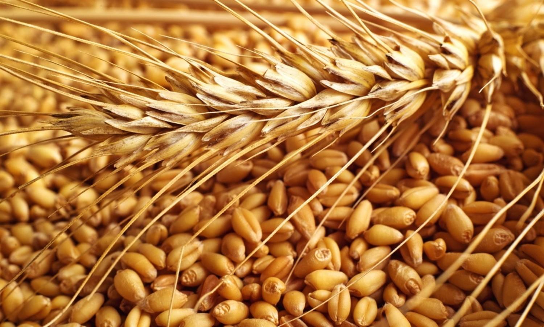 Аграрии Акмолинской области увеличили урожайность пшеницы