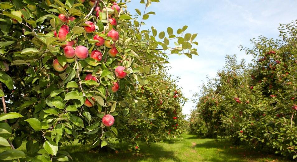 Казахстанские фрукты станут мировым брендом