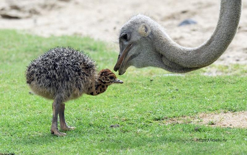 В Шымкентском зоопарке впервые вылупились страусята