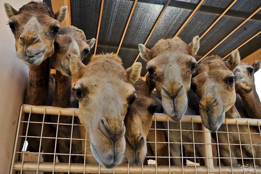 Казахстанско-китайское СП по переработке молока из-за дефицита сырья намерено открыть верблюжью ферму на юге Казахстана