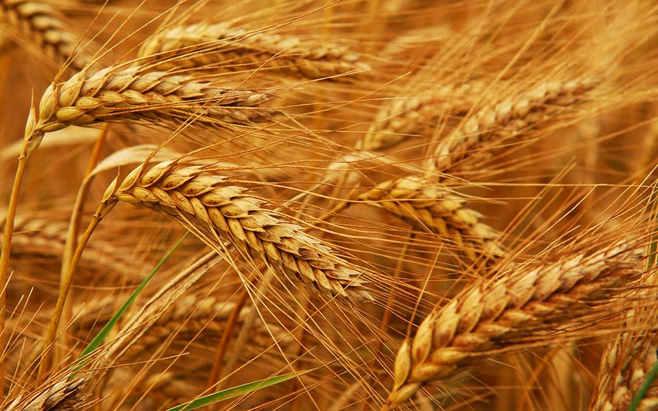 Минсельхоз США понизил прогноз производства казахстанской пшеницы в текущем сельхозгоду