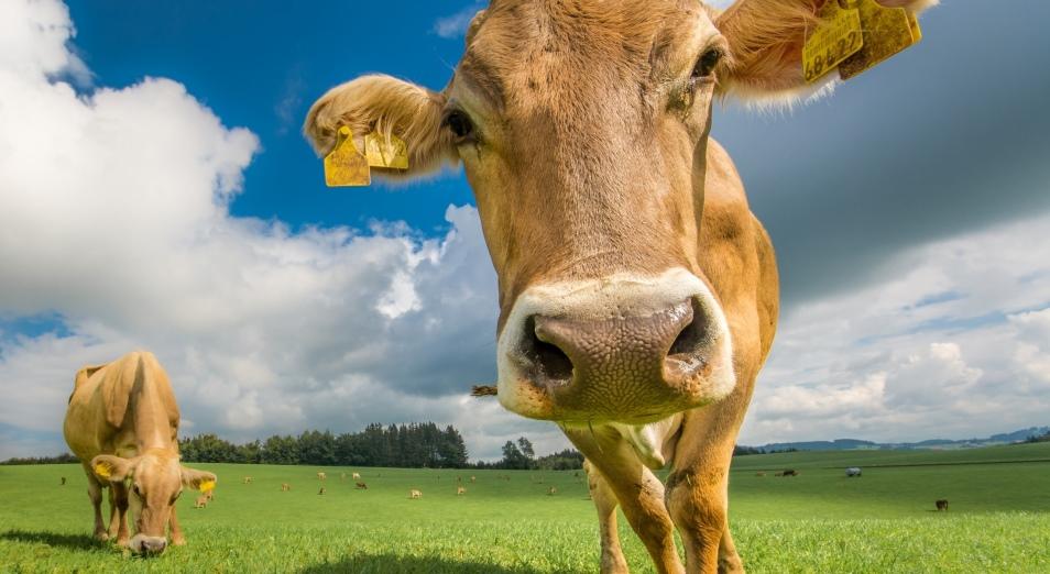 «Две коровы» не спасают фермеров