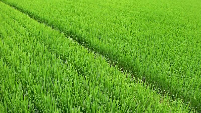 Кызылординская область увеличила площадь сева риса на 6,3%