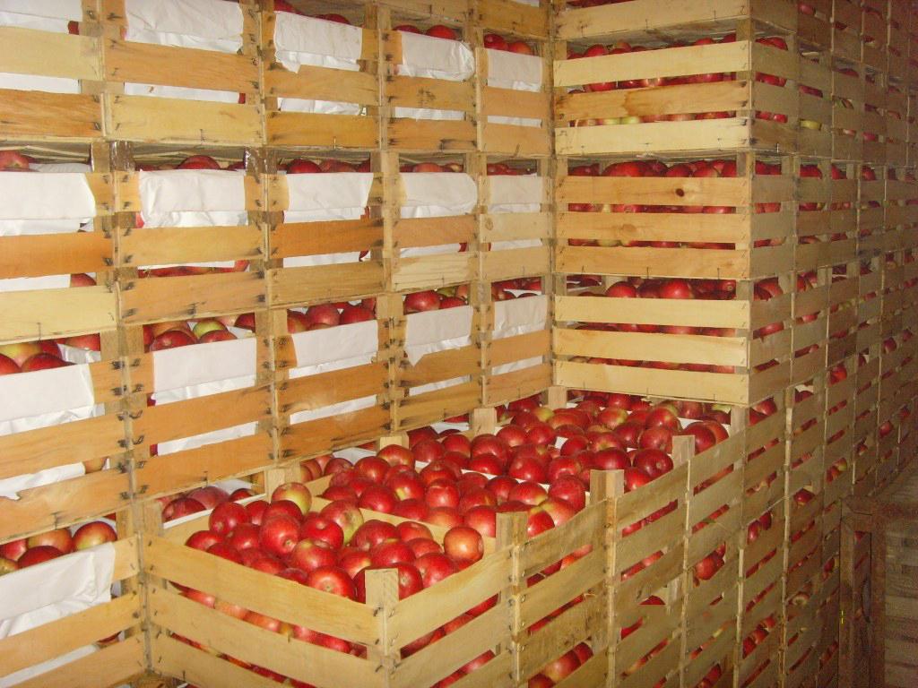 Казахстан по экспорту яблок в мире занимает 76-е место