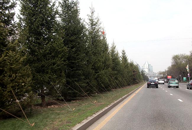 Алматыда алдағы демалыс күндері 6 мыңнан астам ағаш отырғызылады
