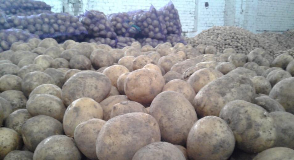 Спасет ли крахмальный завод Павлодарскую область от перепроизводства картофеля